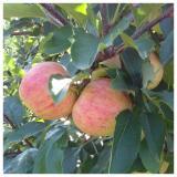 jabuka, sazrevanje ploda
