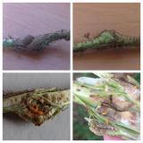 malinina muva galica, zadebljanja i larve